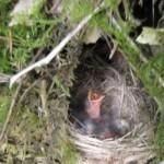 Baby birds in a ground nest.