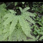 Western Maiden Hair Fern
