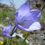Olympic Harebell, found only in the Olympics