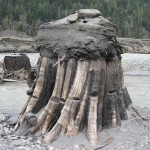 Another Lake Adwell stump with springboard notches