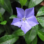 Periwinkle represents life returning to Lake Adwell