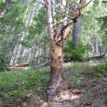 Madrona Tree on a dry trail