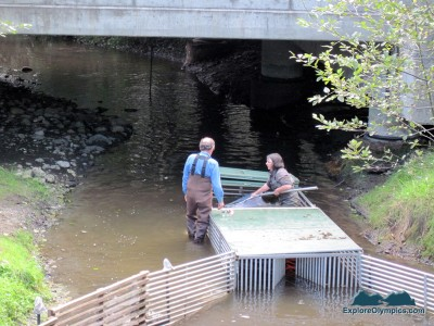 Volunteers count Summer Chum Salmon at Jimmycomelately Creek