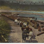 Oxen hauling fir on Discovery Bay - Lowman and Hanford postcard