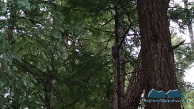 Owl in the Olympic NF canopy along the Dungeness River