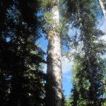 Record Alaska Cedar