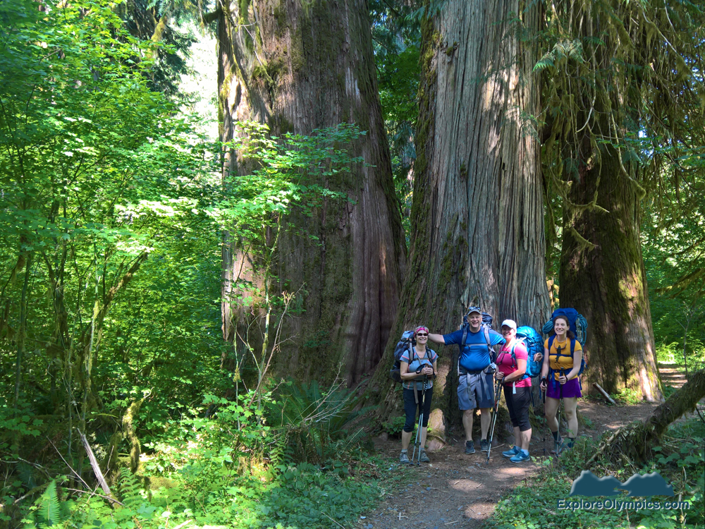 Big Trees of the Hoh Rain Forest