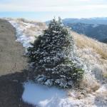 A tough little tree
