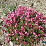 Mountain primrose or Douglasia laevigata