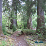 Giants along the Hoh River Valley Trail